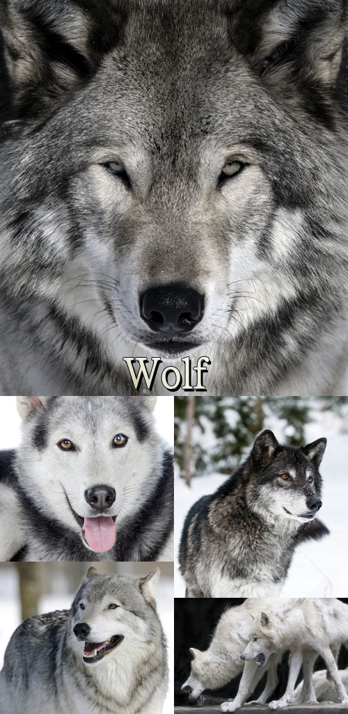 Stock Photo: Wolf