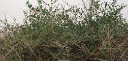 Photo of عشبة الروحب فوائد عظيمة