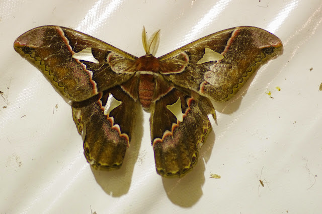 Saturniinae : Rothschildia orizaba orizaba (Westwood, 1853) ou R. fabiani Brechlin & Meister, 2012, mâle. Mount Totumas, 1900 m (Chiriqui, Panamá), 21 octobre 2014. Photo : J.-M. Gayman