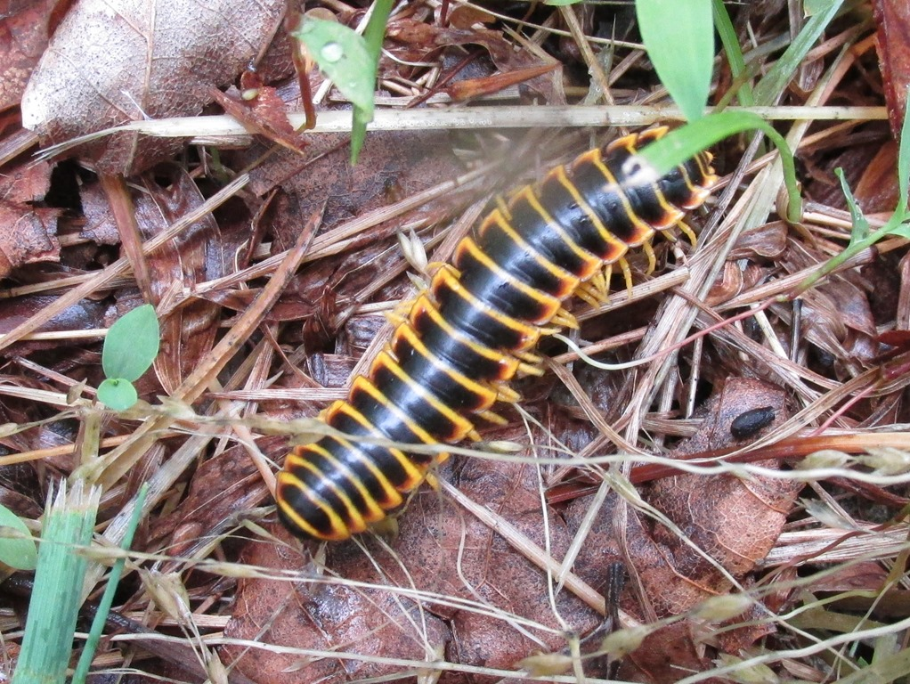 [IMG_6307-Black-and-Yellow-Millipede-%5B2%5D]