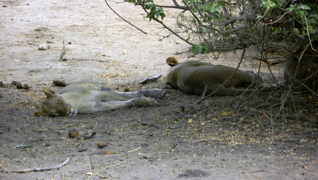 Lions in the Chobe game reserve
