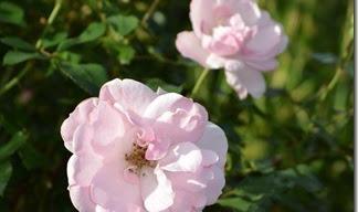 Rosen im September II