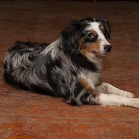 Rayne by David Sallee - Animals - Dogs Portraits ( blue merl, dog, aussie )
