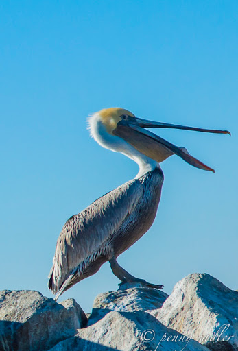 Pelican eyeing me! From Sea Otters, Sea Lions, and California Seals, Oh My!