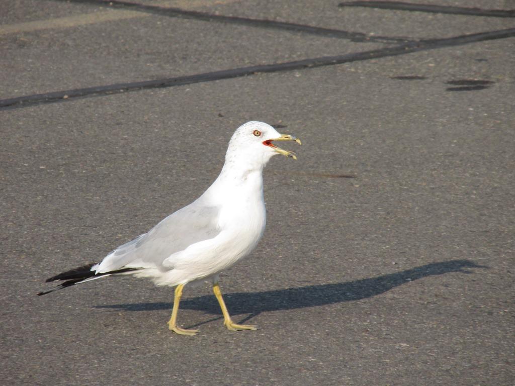 [IMG_9140-Ring-billed-Gull-Bird-311]