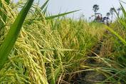 Kulon Progo Yogyakarta Berhasil Panen Padi Nutri Zinc Dengan Provitas 9,4 Ton/Hektar GKP