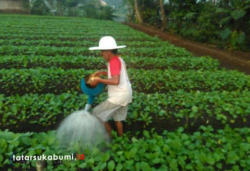 Lahan Pertanian di Kota Sukabumi Semakin Menyempit