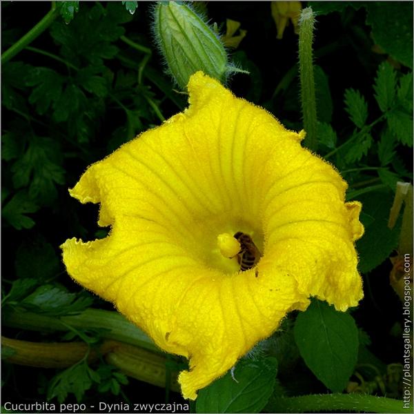 Cucurbita pepo flower - Dynia zwyczajna kwiat
