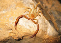 Cave Scorpion in 'No Country for Old Men' | photo © Matt Kirby