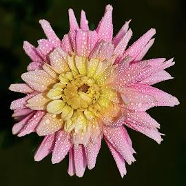 Dahlia 8502 P by Raphael RaCcoon - Flowers Single Flower