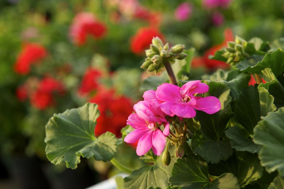 Il geranio la primavera su balconi e terrazzi bartoli garden