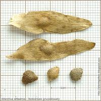 Ailanthus altissima seeds - Bożodrzew gruczołowaty nasiona