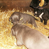Star & True Blues February 21, 2008 Litter - HPIM1005.JPG
