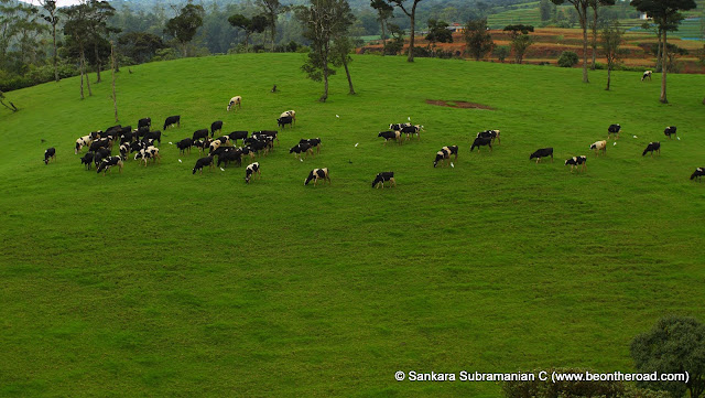 One of Sri Lanka's best grazing pastures for the bovines