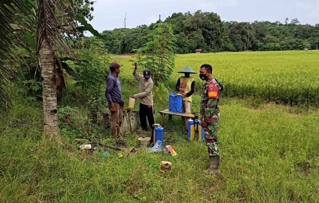 Pendampingan Babinsa Koramil 0906-07/Sebulu Giri Agung disektor Pertanian