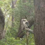 Jervis Bay - Green Patch - Kookoburra