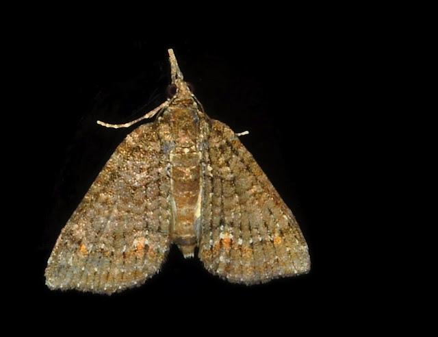 Geometridae : Larentiinae : Eupitheciini : Microdes villosata GUENÉE, 1857 (?). Umina Beach (N. S. W., Australie), 26 novembre 2011. Photo : Barbara Kedzierski