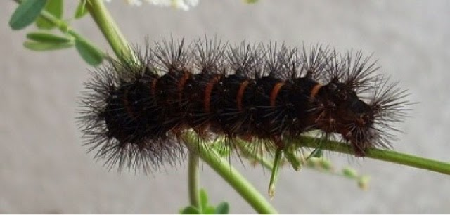 Black Caterpillar Fuzzy Name