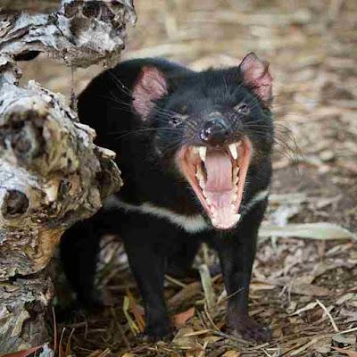 तस्मानियाई शैतान | 3000 साल बाद ऑस्ट्रेलिया के जंगलों में पैदा हुआ शैतान