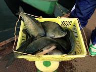 田中さんの釣り上げたへら鮒は30~40.5cmの両型でした (2013.3.24)