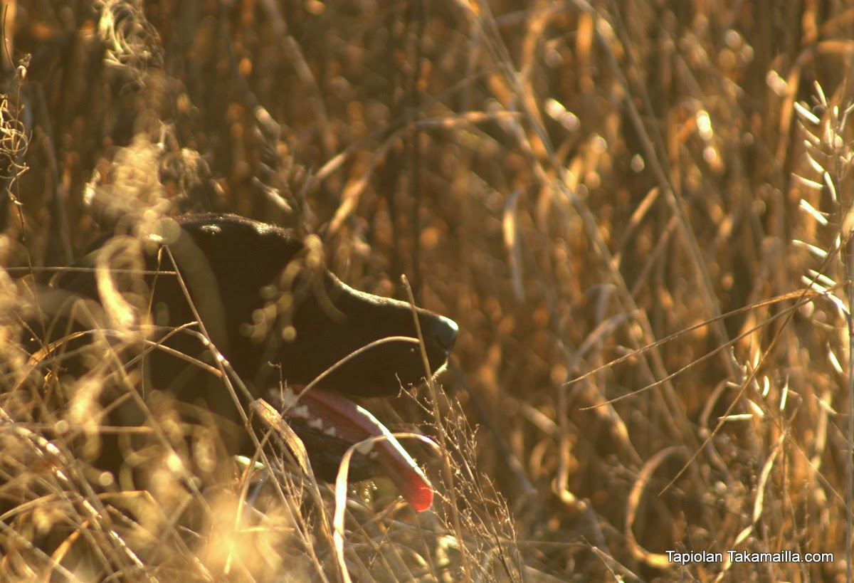 Labradorinnoutaja heinikossa