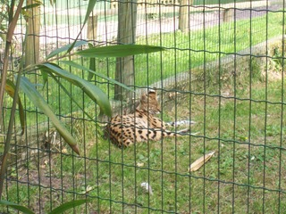 2008.07.01-021 serval