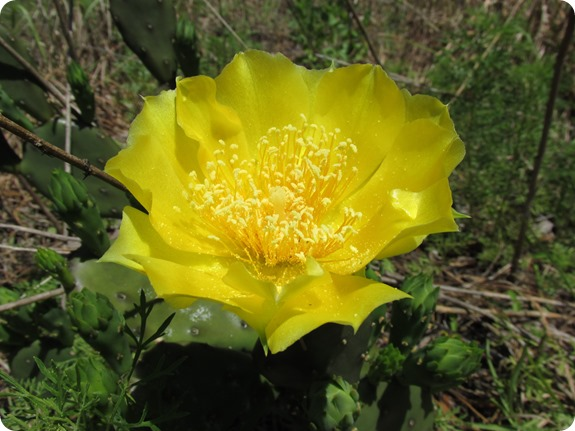 20 Withlacoochee Trail - Pricklypear Cactus Opuntia humifusa
