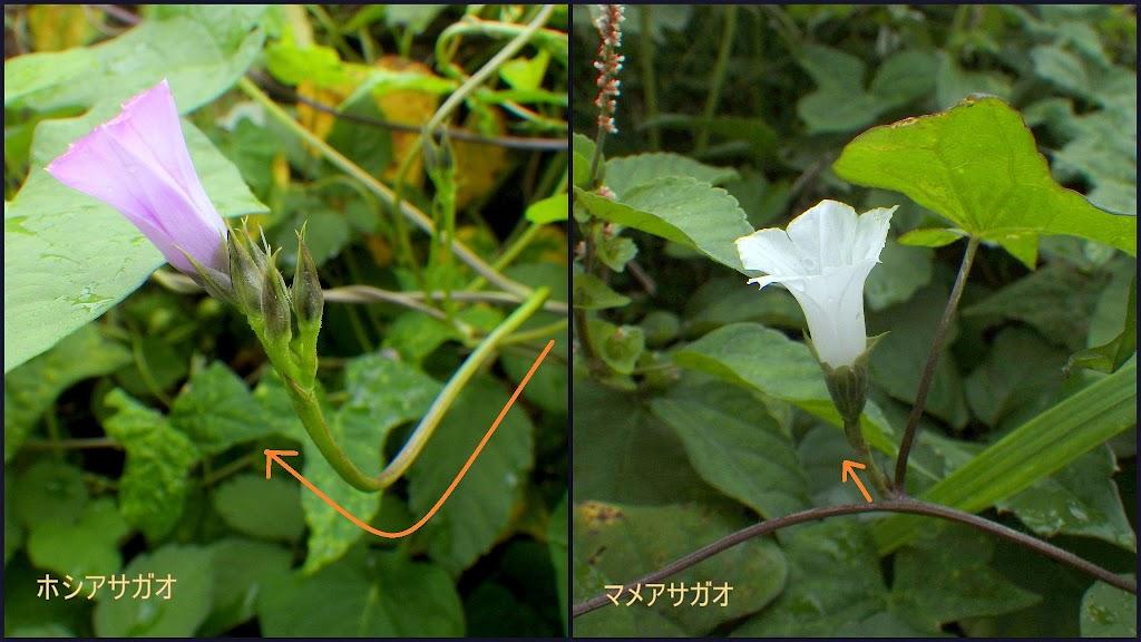 ホシアサガオとマメアサガオの花茎(花柄)比較