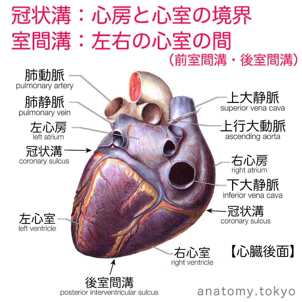 t222-02-冠状溝(心臓後面).png