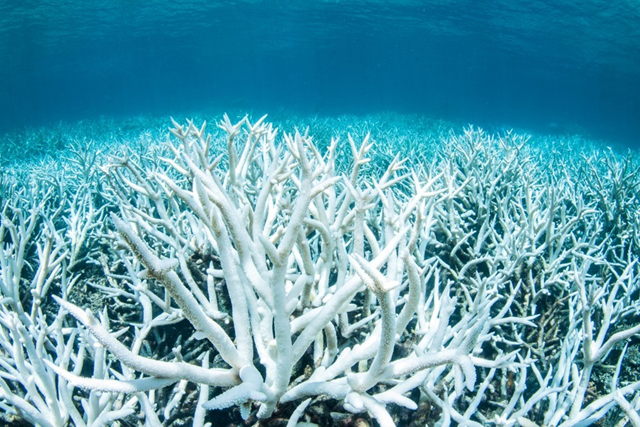 A bleached coral near the Great Barrier Reef on 16 March 2017. Photo: Reuters