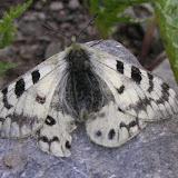 Parnassius (Koramius) staudingeri illustris GRUM-GRSHIMAILO, 1888. Anzob Pass, 3300 m, 3 août 2007. Photo : Jean Michel