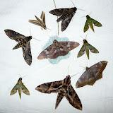 Sphingidae et Noctuidae (Letis genus). Coroico (alt. 1800 m). Bolivie, 6 février 2008. Photo : J. F. Christensen