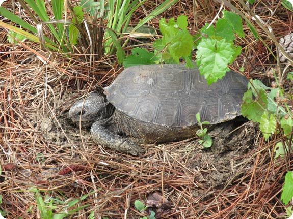 7 Van Fleet - Gopher Tortoise Turtle Reptile (2)