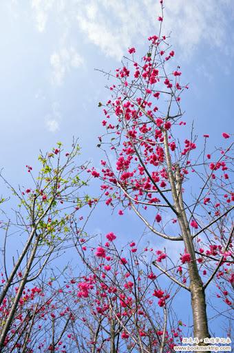 芬園花卉生產休憩園區 - 櫻花還未凋榭