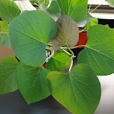 cultivo de meristemas para obtencion de batata libre de virus - 0025.JPG