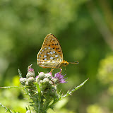 Speyeria aglaja LINNAEUS, 1758. Combe de l'Air, Forêt de Châtillon (Côte d'or), juin 2006. Photo : J.-M. Gayman