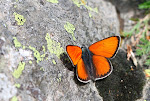 Violetrandet ildfugl, hippothoe eurydame, han6.jpg
