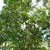ciri-ciri tanaman langsat