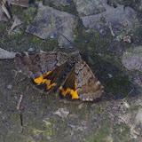 Geometridae : Archiearinae : Boudinotiana notha (HÜBNER, 1803). Les Hautes-Lisières (Rouvres, 28), 26 mars 2012. Photo : J.-M. Gayman