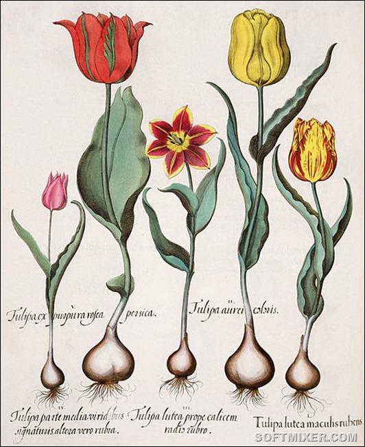 489px-Besler_H.E._tulipa_1