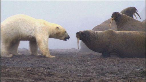 Urso pardo vs Urso polar S_scie_ec_04998_16x9