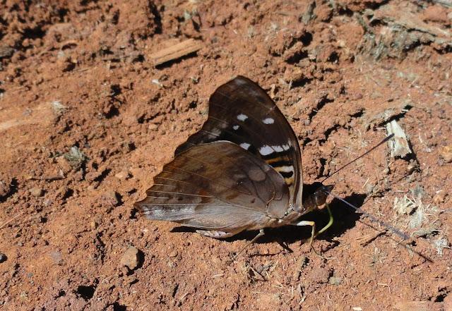 Doxocopa agathina vacuna (GODART, [1824]). verso. Colider (Mato Grosso, Brésil), mai 2011. Photo : Cidinha Rissi