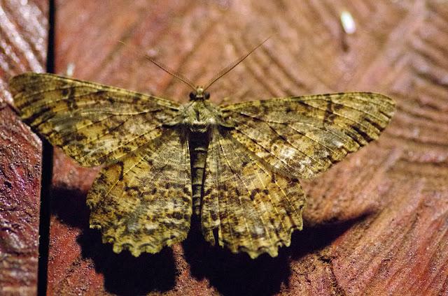 Epimecis masica (Druce, 1892) (?). Valle de las Minas, Hornito, cordillère de Talamanca, 1100 m (Chiriquí, Panamá), 27 octobre 2014. Photo : J.-M. Gayman