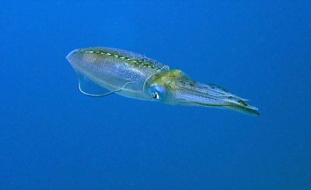 Caribbean Reef Squid. St Thomas Snorkeling.