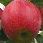 Piros яблоня