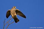 Turmfalken (Falco tinnunculus) am Baum!