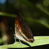 Adelpha plesaure phliassa (Godart, [1824]). Fundo Palmarito, 265 m (Yopal, Casanare, Colombie), 22 novembre 2015. Photo : J. Michel