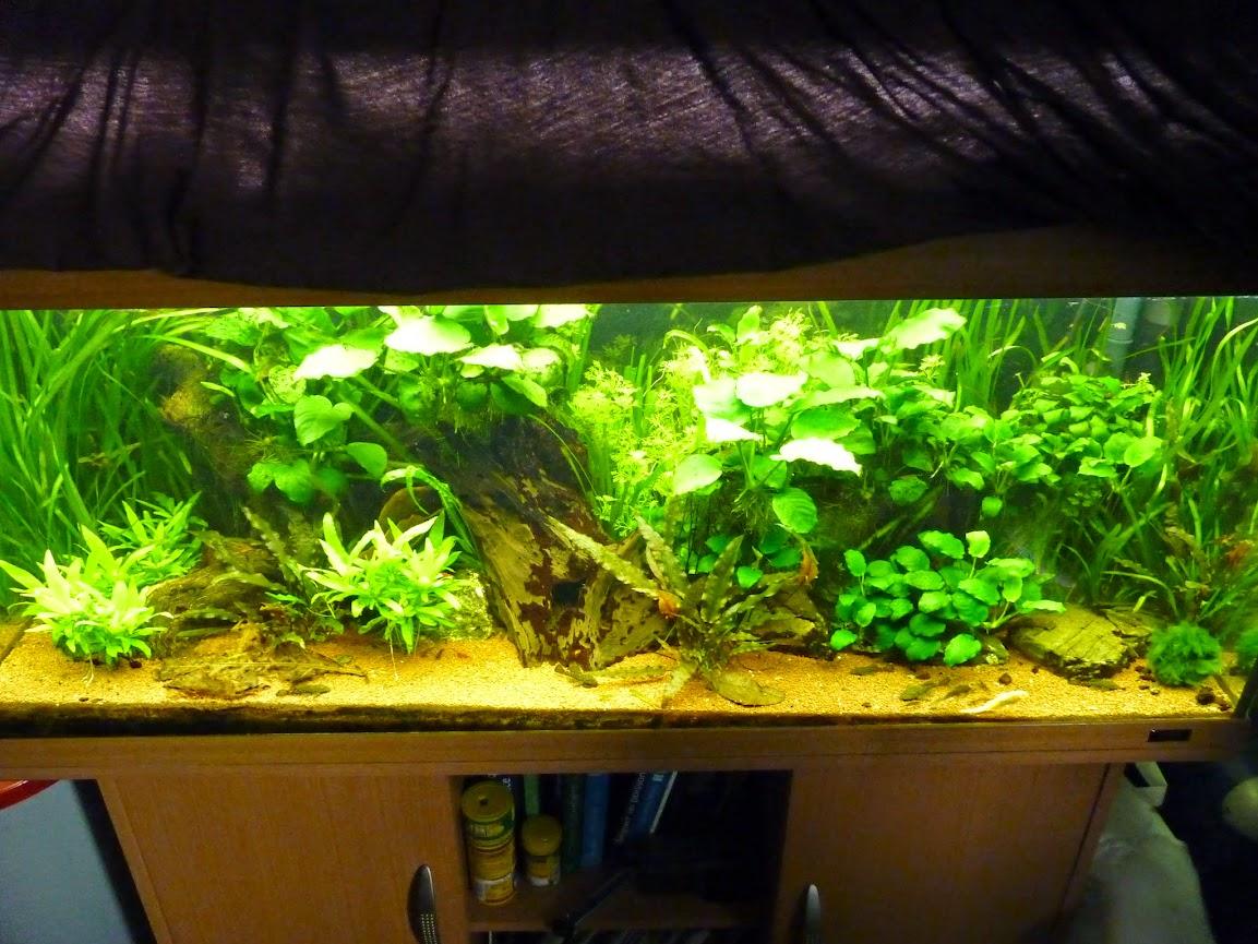 Ma petit histoire Aquariophile de 2009 à aujourd'hui  P1060146
