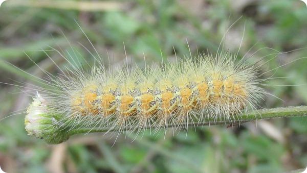 Hampton Tract - Caterpillar (5)