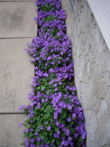 Trifolium repens ibridi da seme e altre tappezzanti per - Piante tappezzanti ...